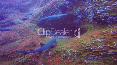 Great diving with reef sharks at Roca Partida rock in the Pacific Ocean, Mexico
