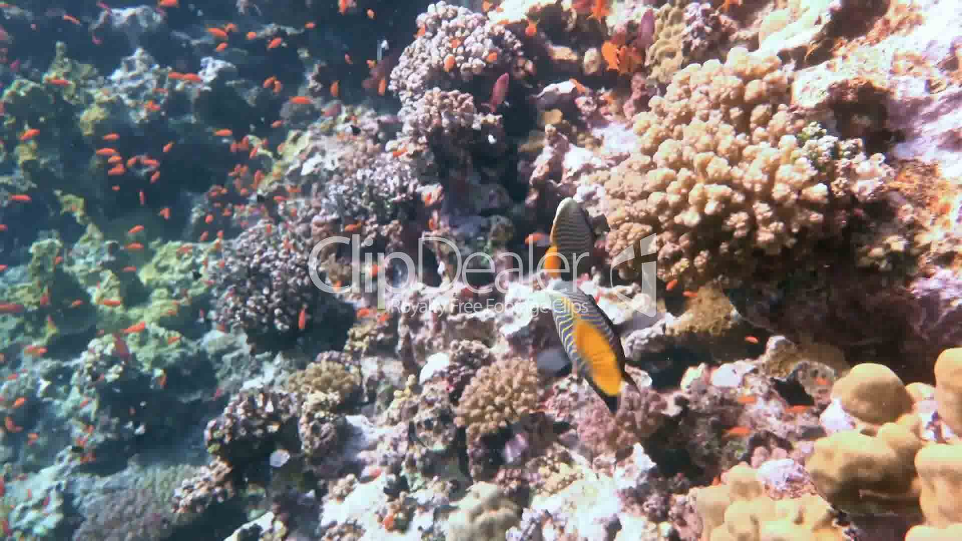 Couple emperor angelfish fish over the reef in the Red Sea