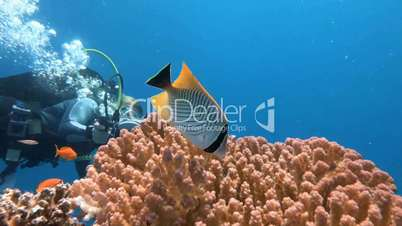 Underwater videographer, filming Butterfly fish in the Red Sea