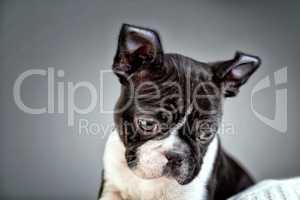 Boston Terrier Welpe