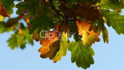 oak tree leaves in indian summer closeup