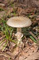 Amanita fungi