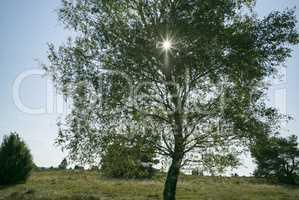 Birke in der Lüneburger Heide