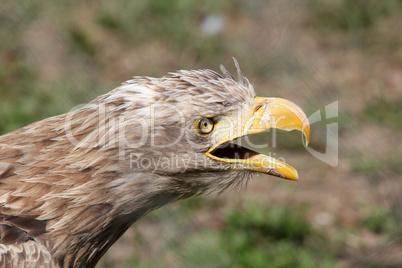 eagle screaming portrait