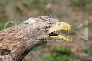 eagle screaming portrait