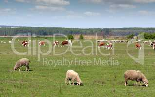 farm animals in pasture
