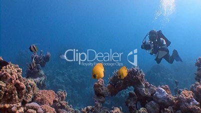 Underwater videographer, filming lemon butterfly fish in the Red sea