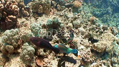Feeding reef fish in the Red sea