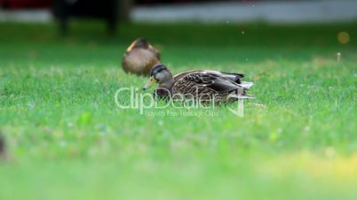 Wild ducks enjoy the rest in the grass