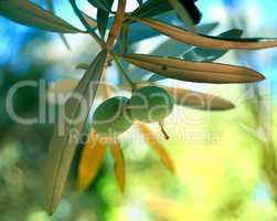 Mediterranean Organic Olives On Its Tree Branch