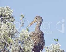 Limpkin Bird Perching
