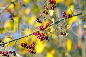 Gemeiner Weißdorn, reife Früchte