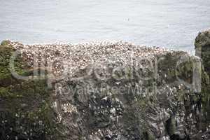 Northern gannet, Morus bassanus, colony