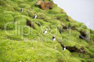 Atlantic puffins, Fratercula arctica in its colony