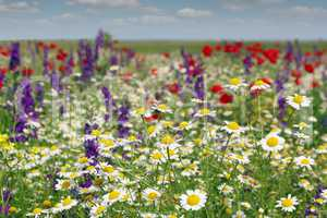 chamomile and wild flowers