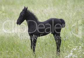 Black Little Colt On The Meadow