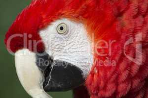 Red macaw portrait  (ara macao)