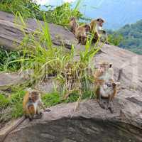 family of wild monkeys on the ledge