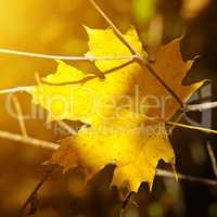 yellow maple leaf on blurred background