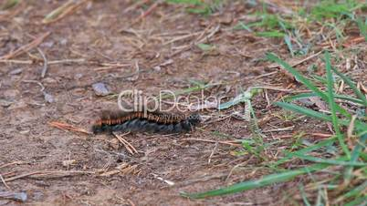 Big caterpillar with long hair