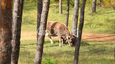Gray spanish cow in ther forest