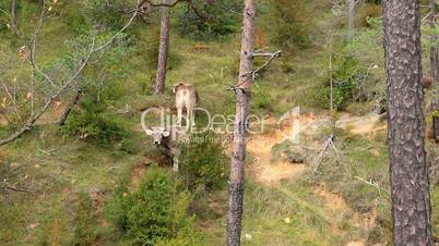 Gray spanish cows in ther forest