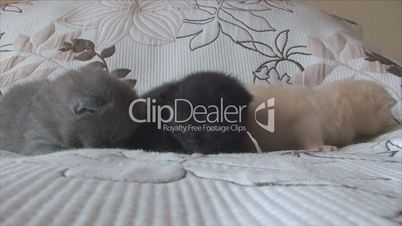 British kittens of different colors lie on the bed