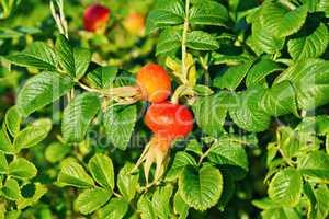 Rosehip large berries