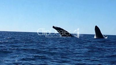 A fascinating boat trip with the observation of humpback whales jumping in the Pacific ocean off of the Baja California Peninsula, Mexico