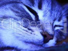 muzzle of cat of Scottish Straight