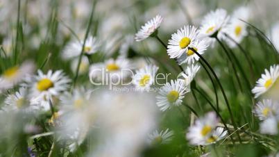 Beautiful white daisy growing in a summer garden.(Leucanthemum vulgare)