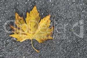 Autumn leaf on sidewalk.
