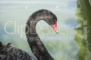 Black Swan in their natural habitat