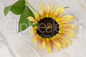 Sunflower flower