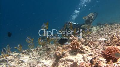 Underwater videographer, filming a flock of amazing fish sweetlips on the reef near the Maldives