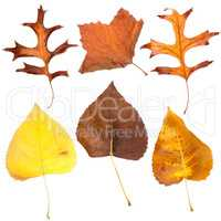 Six fall leaves
