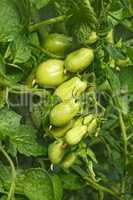Cluster of green oblong tomatoes