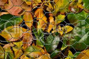 Herbstlich bunte Rosenblätter hinter Gitter