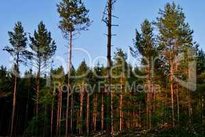 Wald und Sonnenuntergang