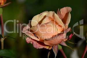 Einsame Rose im Morgentau