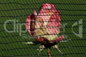 Beschützte Rose