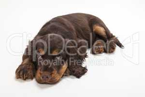 Cute Cocker Spaniel Puppy Dog Laying down
