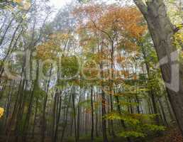 Misty Forest Woodland Trees in Autumn or Fall