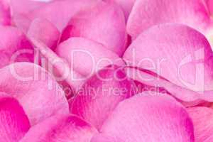 Rose petals in a large quantity (the background image).