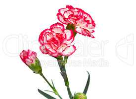 Carnation flowers on a white background.