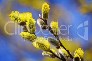 Blossoming branches of a willow.