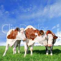 The flirt cows