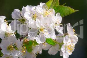 Branch of blossoming cherry with a large amount of white colors