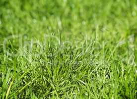 Young green grass on a lawn.