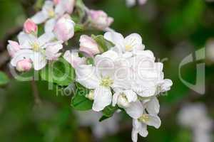 Branch of flowering apple-tree on a background a green garden.